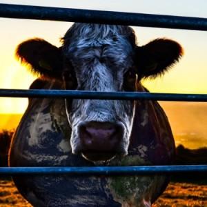 Cowspiracy evi