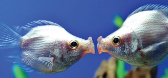 baciare