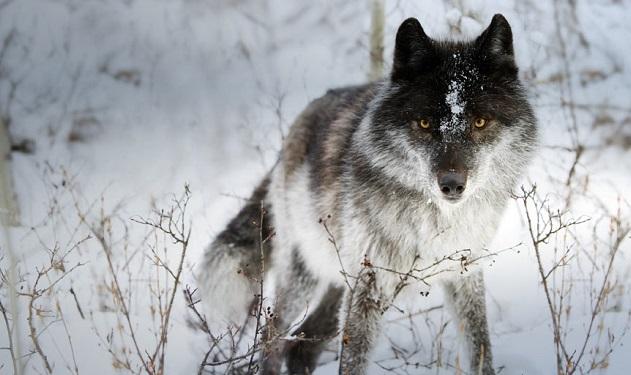 Il lupo in inverno