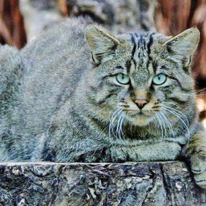 Gatto selvatico: raro avvistamento nel Parco dei Monti Aurunci