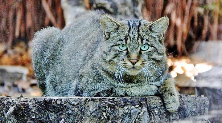 Gatto Selvatico Raro Avvistamento Nel Parco Dei Monti Aurunci