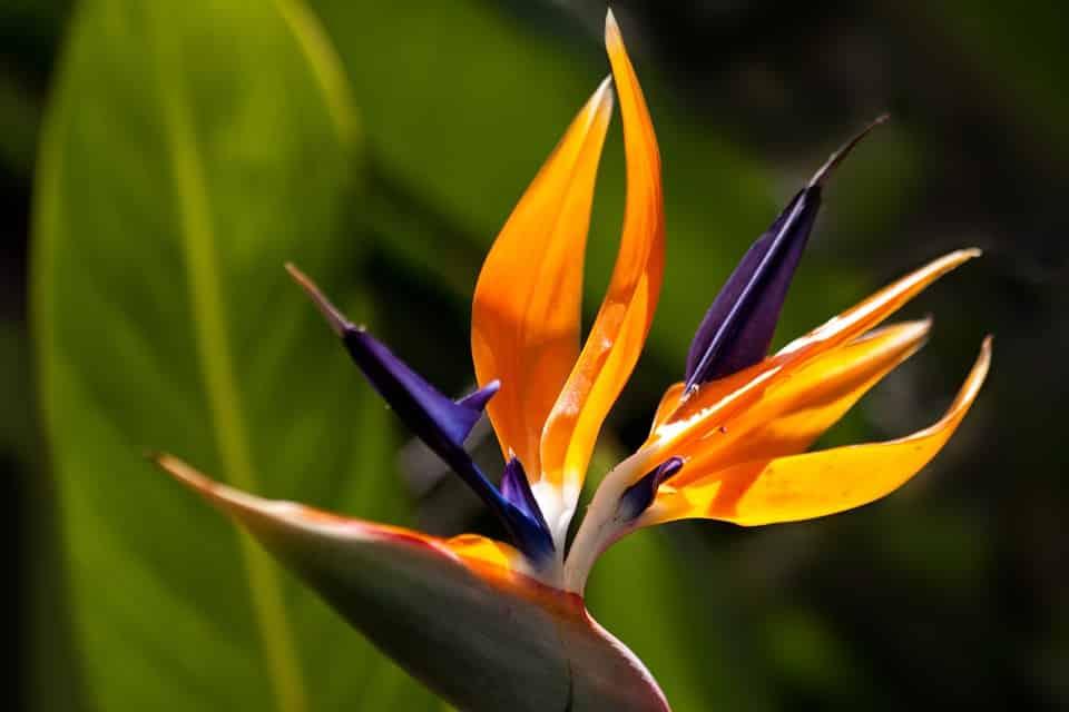 Fiori velenosi, 5 specie meravigliose e pericolose