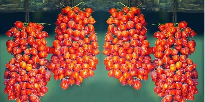 L isola d'Ischia e la tradizione dei Piennoli di pomodoro