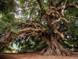I 10 alberi più antichi al mondo